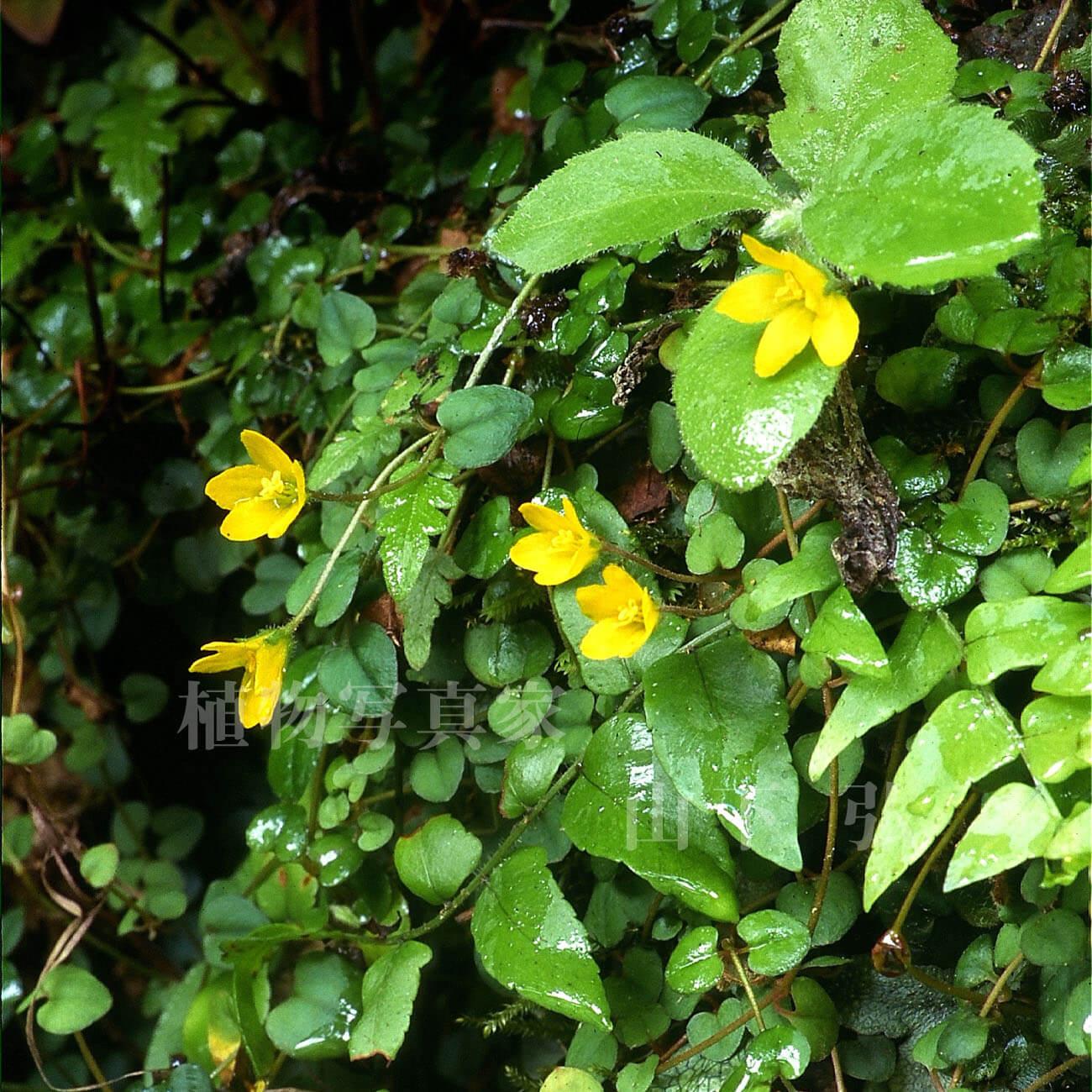 奄美大島の渓流沿いの草花