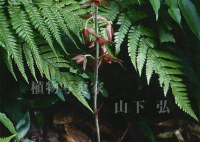 イモネヤガラ
