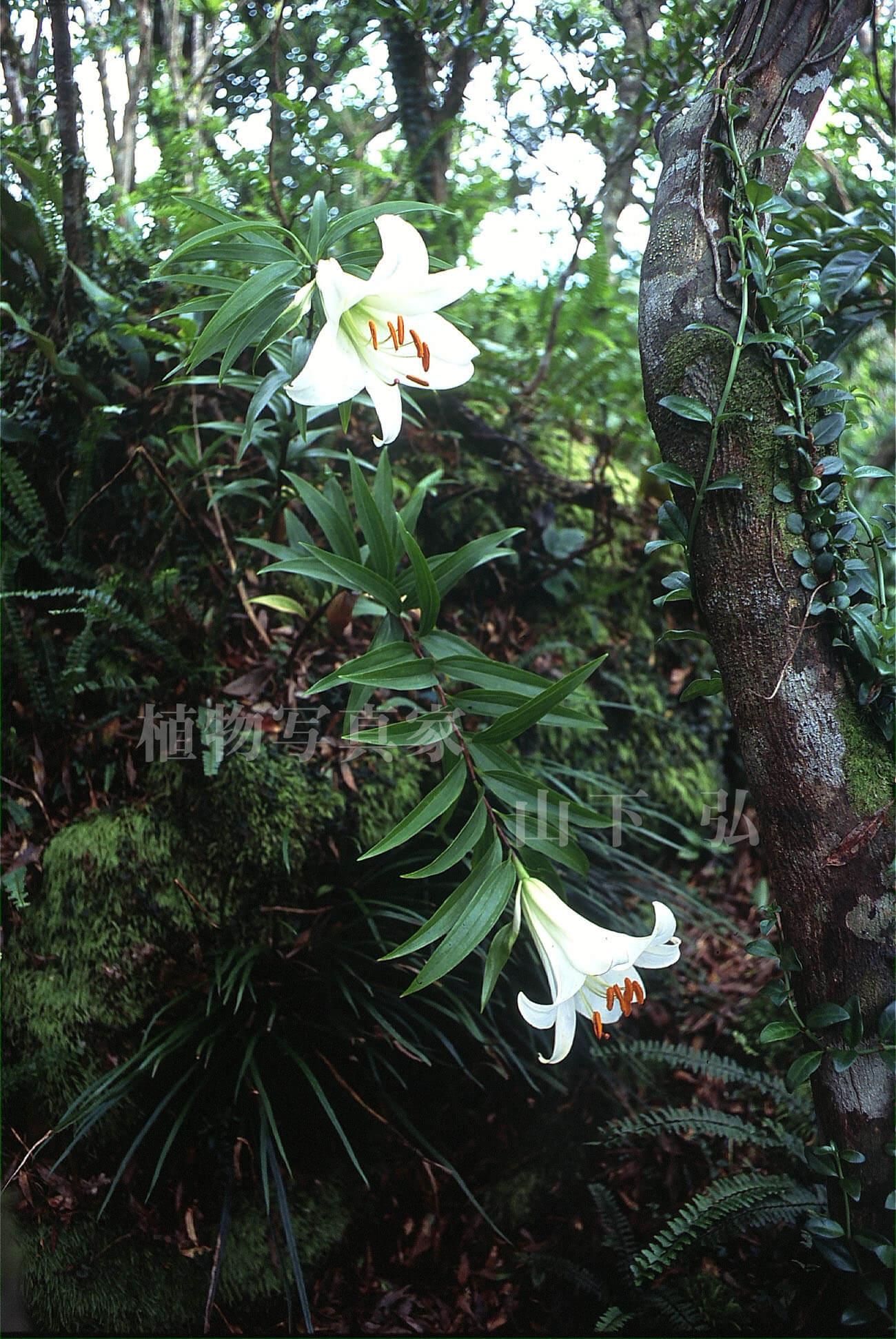 奄美大島のウケユリと初夏の花々