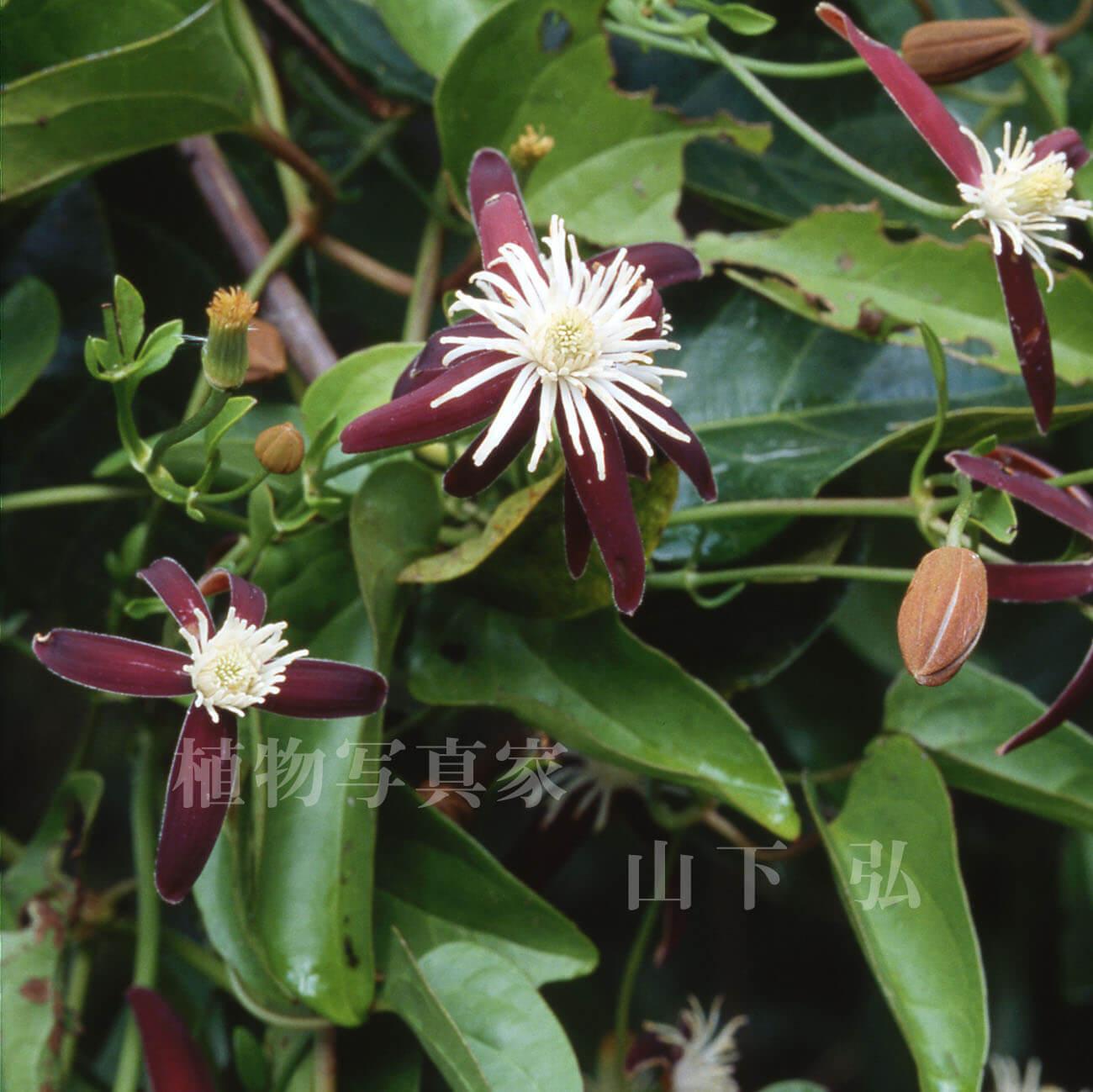 奄美大島のヤエヤマセンニンソウと初秋の花々