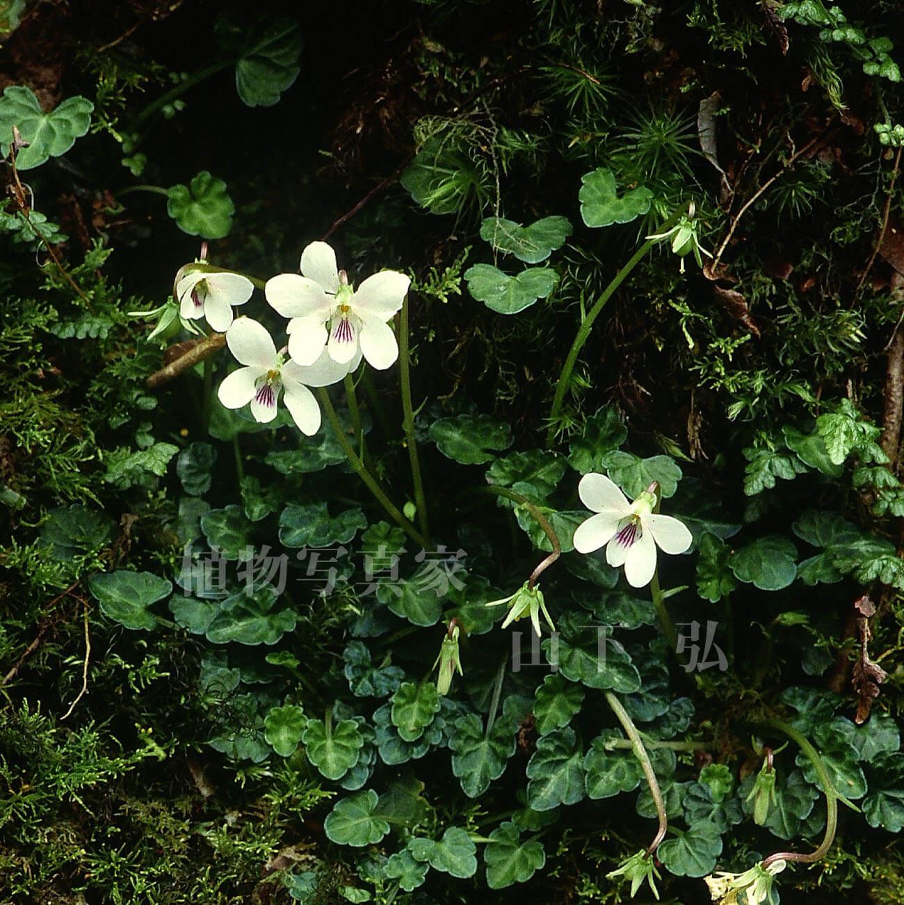 奄美大島・湯湾岳のヤクシマスミレと周辺の植物観察